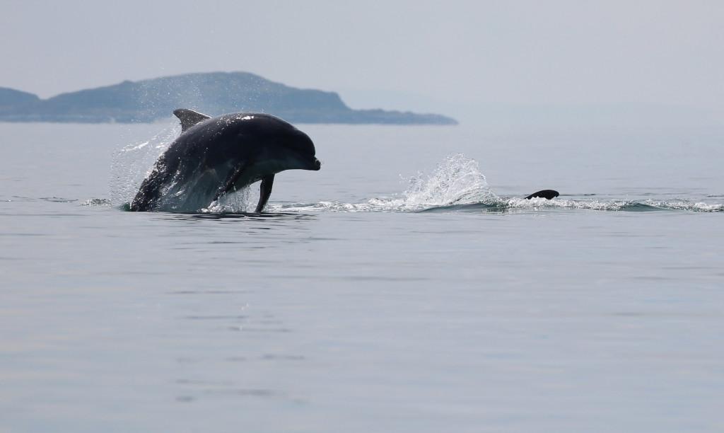 Bottlenose Dolphin - photo by Benjamin O Jones.