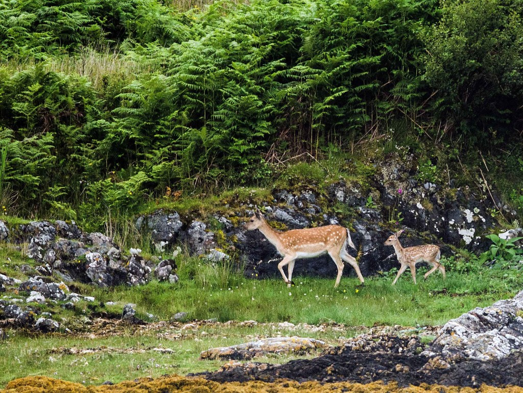 Fallow doe and fawn on Scarba - photo by Patrick Rowan.