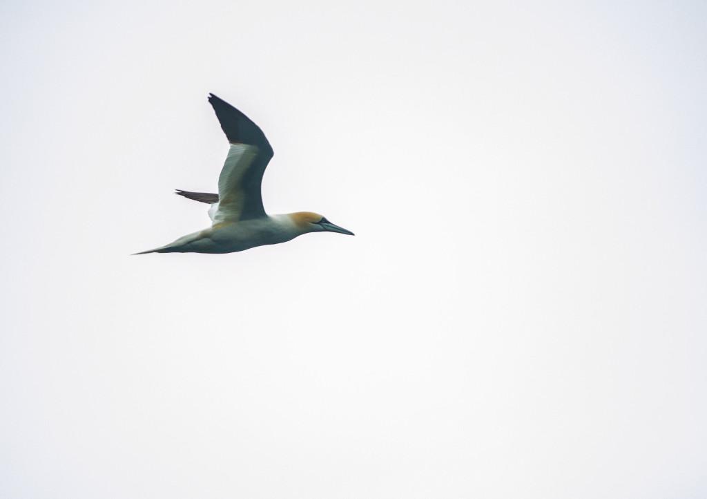 Gannet in flight - Photo by Patrick Rowan.