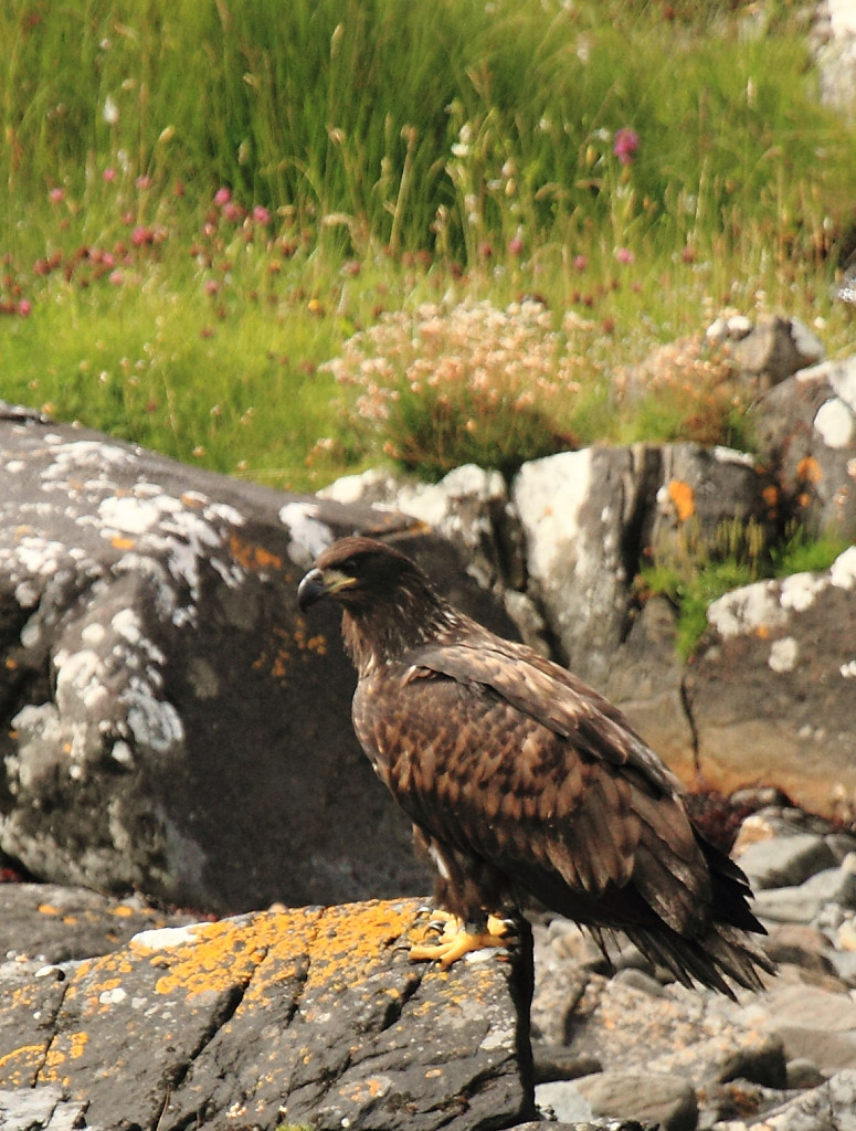 Golden Eagle - Photo by Victoria Hillman.