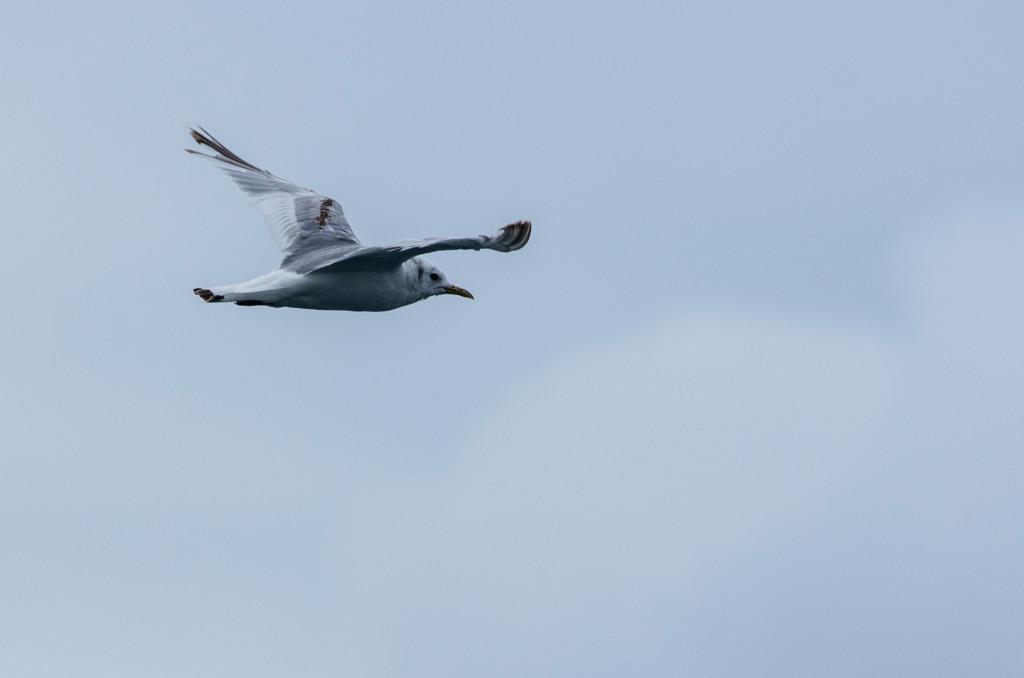 Kittiwake in flight - Photo by Patrick Rowan.