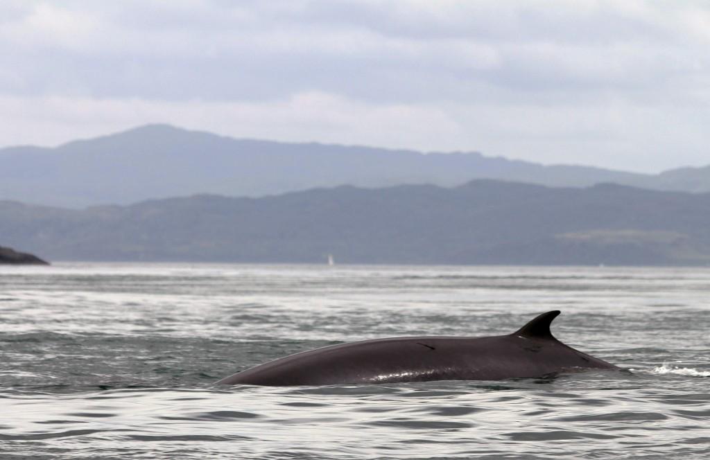 Minke Whale - photo by Nicola Boulton.
