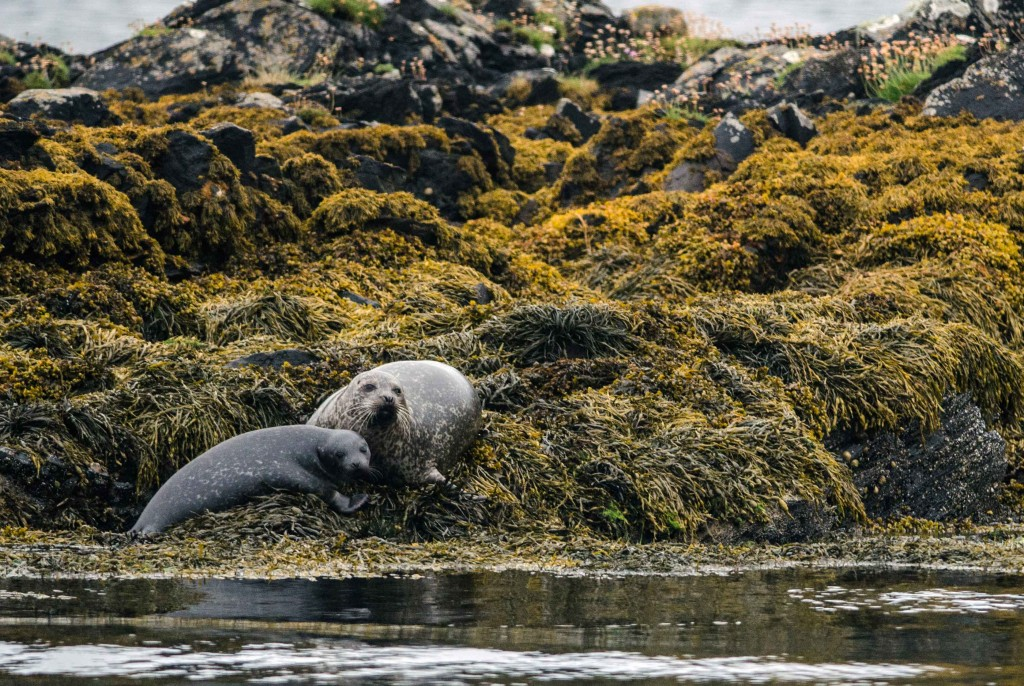 Mother and pup Common Seals - Photo by Patrick Rowan.