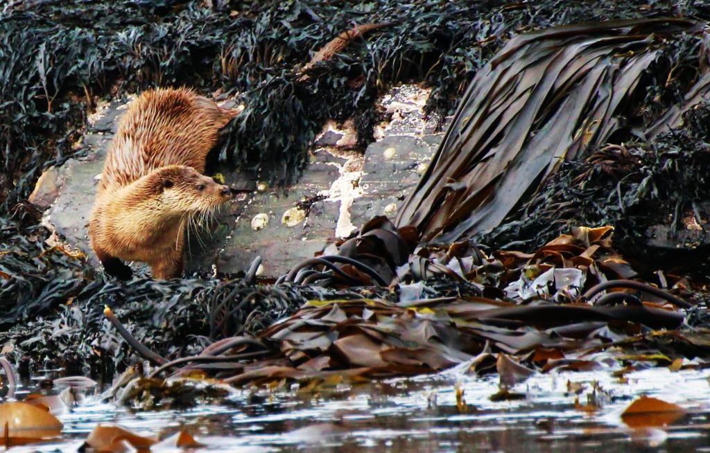 Otter - photo by Benjamin O Jones.