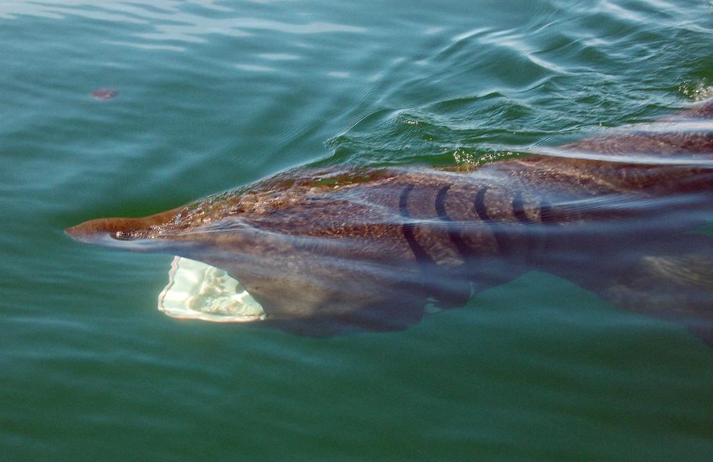 Basking Shark - photo by James Clark.