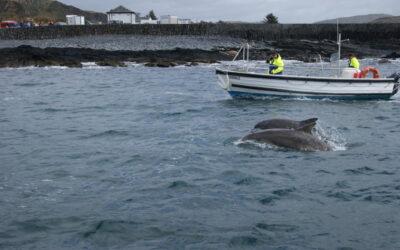 Easdale's dolphin-fest !