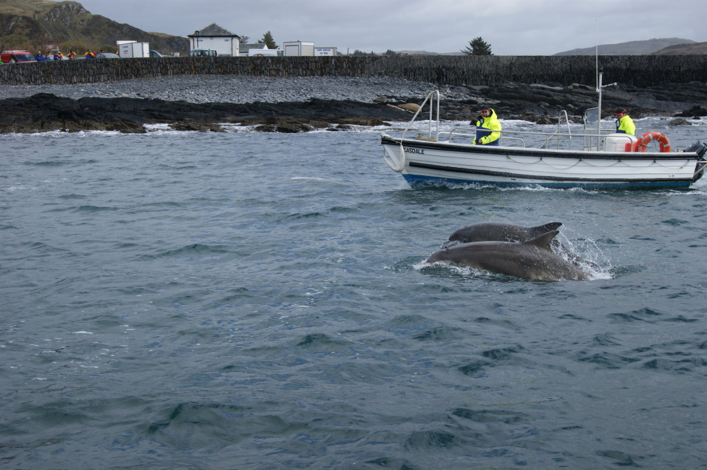 Dolphins playing with Easdale ferry.