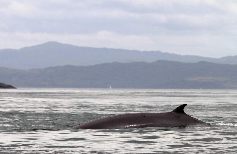 Seafari Adventures - Minkie Whale